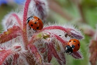 Siebenpunkt-Marienkäfer (Coccinella septempunctata) und auch eine Ameise auf Borretsch Blüten