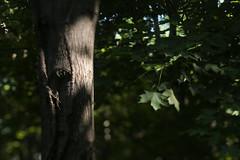 Funks Grove (Tony Pulokas) Tags: tree forest leaf illinois summer tilt blur bokeh funksgrove maple sugarmaple virginiacreeper parthenocissus