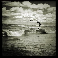 Hungry (A.Azul) Tags: hipstamatic hipstography seagull waves lake bw blackandwhite water fly hungry