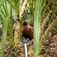 Day 6 08 Logan Botanic Garden pheasant (bob watt) Tags: uk june canon scotland pheasant 7d 2016 18135mm loganbotanicgarden canoneos7d kirkcudbrightholidayjune2016
