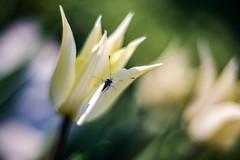 butterfly & tulip (Vadim Tsymbalyuk) Tags: plant flower closeup butterfly dof bokeh outdoor depthoffield tulip