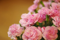 Mother's Day (703) Tags: pink flower love japan tokyo gift carnation mothersday thinkpink fa50mmf14 pentaxk5