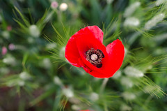 Dancing (Bea.ph.) Tags: summer italy spring italia dancing may poppy fields marche papaveri