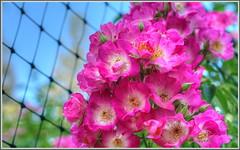 Roses 4 Mom (tdlucas5000) Tags: roses gardens fence bokeh magenta climbing ping hdr descanso