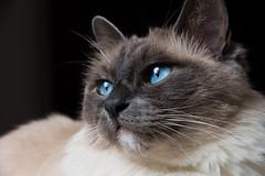 Sacré (Olivier Dégun) Tags: canon eos chat yeux sacré bleus birmanie 700d flickrunitedaward 1585isusm