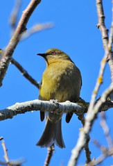Bellbird (Koromako) (PalmyLisa) Tags: newzealand tree green singing native otago dunedin bellbird koromako
