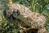 Prairie Rattlesnake (Robin-Wilson) Tags: iso800 colorado bokeh wildlife f16 openspace rattlesnake tooclose poisonous forkedtongue 600mm pitviper 1320sec readytostrike buzzworm bluestemprairie nikond800