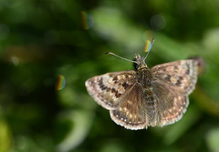 Dingy Rainbow Bokeh (brown.thalia) Tags: nature butterfly bokeh dorset dingyskipper cerneabbas gianthill rainbowbokeh thaliabrown