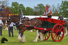 Single heavy horse driving (Vicktrr) Tags: show horses horse jumping native fife bull highland pony british hunter welsh harness cob calf gypsy coloured equestrian shetland champions equine agricultural calves clydesdale showjumping foal foals vanner 2015 drey workinghunter