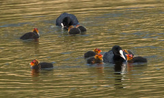 Gather Round Kids (alanj49) Tags: water chicks coot