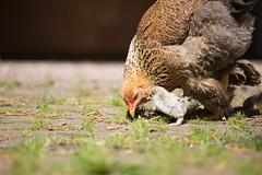 Mutter und Kind (Gret B.) Tags: cute bird chicken canon huhn henne hen garten vogel niedlich idylle hhner landleben harmonie kken schn lndlich ss hhnerkken canoneos6d