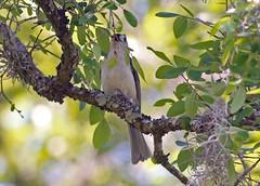 Tufted Titmouse (1krispy1) Tags: titmouse tuftedtitmouse texasbirds