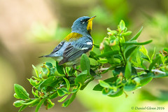 Northern Parula (Setophaga americana) male (danielusescanon) Tags: male migration animalplanet hotspot breedingplumage northernparula mageemarsh birdperfect setophagaamericana