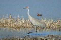 Sandhill Crane (Grus canadensis) DDZ_2585 (NDomer73) Tags: bird crane april adel sandhillcrane 2016 09april2016