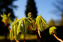 Kastanienbaum (finn-foto) Tags: nikon finnland natur fin hyvink frhjahr uusimaa d700 nikkor35mmf14ais nikond700 nikoncnx2 infinitexposure