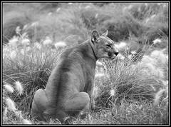 (Caro Rolando) Tags: felinos animales puma temaiken animalescazadores