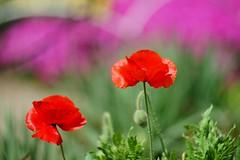()/Papaver rhoeas (nobuflickr) Tags: flower nature japan kyoto   cornpoppy papaverrhoeas fieldpoppy thekyotobotanicalgarden    awesomeblossoms  20160419dsc07488