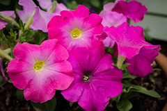 Pink Petunias (mraarondouglas) Tags: flowers purple pink plants plant green garden gardens nature natural leaves leaf pedal phot photography photograph canon rebel t5 1200d macro closeup summer afternoon morning evening gardening petunia racine wi wisconsin illinois il chicago milwaukee