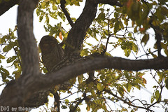 Mottled Wood Owl adult (Robbert met dubbel B) Tags: park wood india nature wildlife indian reserve safari national owl april 29 29th mottled 2016 indische tigerreserve nationaal tadoba bosuil andhari