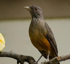 Sabi Laranjeira (Jafo11) Tags: nikon aves brasileiras sabi laranjeira