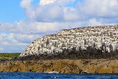 (bilska.anna) Tags: birds colony uk island nature reserve rocks sea wildlife canon naturereserve