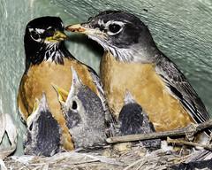 Poppa left, Momma right and three babies (Patchman 2) Tags: robin betterbeamer babyrobins nikonsb900 nikond7200