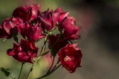 Flores rojas (seguicollar) Tags: flor flower jardn jardnbotnico virginiasegu planta vegetal vegetacin nikond5200 rojo