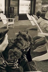 Can't  believe we didn't get our own lawn chair to sit on! (Dark YorkiPoos) Tags: cute yorkie dark mix small poodle mia kia hybrid yorkiepoo hypoallergenic terripoo