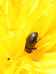 Glanzkäfer (gbohne) Tags: canon insect beetle insects insekt arthropods arthropoda tier insekten käfer insecta neoptera taxonomy:class=insecta geo:country=germany taxonomy:phylum=arthropoda 100mmf28canon taxonomy:infraclass=neoptera taxonomy:subphylum=hexapoda geo:region=europe