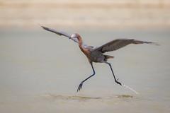 Catching Air (gseloff) Tags: bird fishing texas wildlife bif reddishegret galvestoncounty houstonaudubonsociety gseloff bolivarflatsshorebirdsanctuary