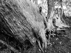 Rough Bark (RandyFinch) Tags: scenery tennessee treetrunk natcheztrace