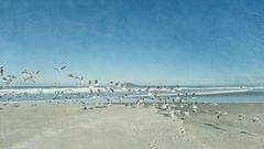 Flight (borealnz) Tags: ocean sea newzealand seagulls bird flying gulls flock flight nz dunedin waldronville