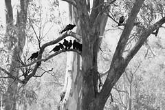 Crows (kap78) Tags: blackandwhite birds victoria echuca