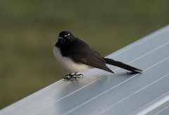 Willie Wagtail (Merrillie) Tags: bird nature animal fauna natural outdoor wildlife australia nsw newsouthwales centralcoast wagtail woywoy nswcentralcoast centralcoastnsw williewaggtail