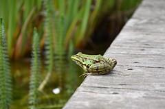 frog (freebirdlove) Tags: wood summer sun green home nature water garden frog