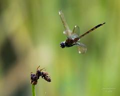 Dragonflies -8 (jimlustgarten) Tags: dragonflies lustgarten