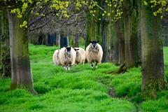 England 2016  Stamford  Sheep (Michiel2005) Tags: uk greatbritain england sheep unitedkingdom britain lincolnshire gras stamford engeland schapen schaap vk burghleyhouse grootbrittanni verenigdkoninkrijk