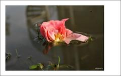 dolore.... (alesolofoto) Tags: women rosa donne acqua 115 dolore pozzanghera