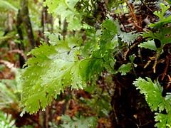 Filmy fern - Hymenophyllum (dracophylla) Tags: newzealand hymenophyllaceae hymenophyllum codfishisland whenauhoa