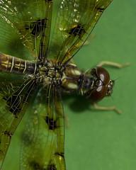 DragonFly_SAF0015-2 (sara97) Tags: nature insect outdoors dragonfly missouri saintlouis predator towergrovepark mosquitohawk flyinginsect urbanpark photobysaraannefinke copyright2016saraannefinke