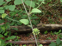 Smilax herbacea ? (carrionflower) (kevinandrewmassey) Tags: linvillegorge n plant flower wildflower vine flora unidentified smilax herbacea carrionflower carrion