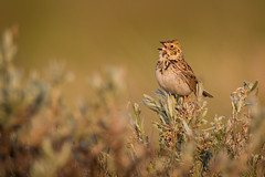 Baird's Sparrow - Ammodramus bairdii - Bruant de Baird (Paul B Jones) Tags: canada bird nature grass animal sunrise dawn photo image wildlife picture sage telephoto photograph sparrow alberta prairie grasslands goldenhour sagebrush songbird wildhorse greatplains specialconcern bairdssparrow ammodramusbairdii silversage ef800mmf56lisusm canoneos1dmarkiv bruantdebaird