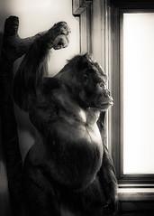 Gorilla in the Mist (Astroredg) Tags: bw nb monochrome noiretblanc blackandwhite photographis redpath museum muséee redpathmuseum montreal canada mist boredom ennui window fenêtre contrast contraste gorille gorilla thoughtful réfléchi meaning sens locked enfermer dreaming rêver emprisonner imprison kingkong