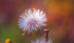 Hawksbeard (Dhina A) Tags: flower macro 35mm 50mm prime weed minolta sony af 1985 f28 amount primelens hawksbeard sonyalpha 7blades minoltaaf50mmf28 laea4 a7rii a7r2 ilce7rm2