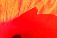 Poppy Petal Abstact (gripspix (OFF)) Tags: 20160605 nature natur plant pflanze blte blossom klatschmohn papaverrhoeas petal bltenblatt texture textur