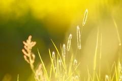 Meadow Dreams (fxdx) Tags: meadow dreams p900 grass bokeh