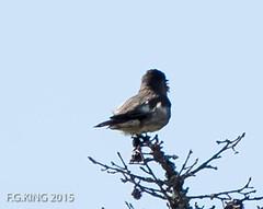 Olive-sided Flycatcher, Monchy Woods Road (frank.king2014) Tags: ca canada gander olivesidedflycatcher newfoundlandandlabrador