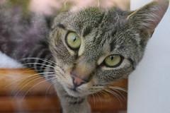 My Gorgeous Kitten ! (Mara 1) Tags: portrait face eyes chair kitten stripes tabby indoors
