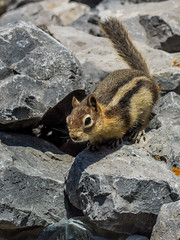 golden mantled ground squirrel - banff NP, canada (AB) (Russell Scott Images) Tags: canada ab alberta banff rodents banffnationalpark goldenmantledgroundsquirrelcallospermophiluslateralis