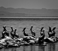 Salton Sea Pelicans (Greg Adams Photography) Tags: california blackandwhite bw lake pelicans nature water birds spring many wildlife horizon calif wilderness southerncalifornia saltonsea 2016 hhsc2000